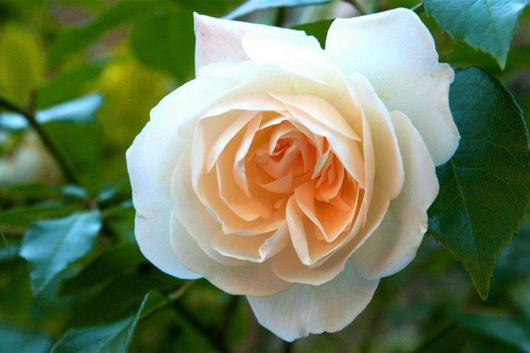 rosa senza colore poesia inedita stefania rabuffetti